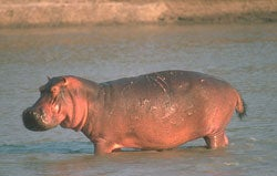 Hippo (image courtesy of sciam.com)