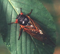 Most sap-sucking cicadas appear periodically, every 13 or 17 years