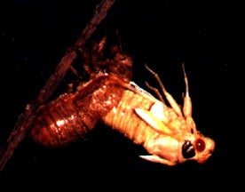 After the nymphal stage spent