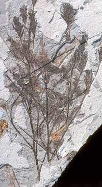 plant fossil