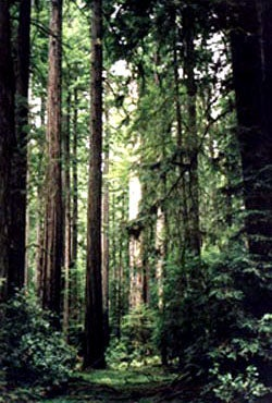 Redwood trees/forest