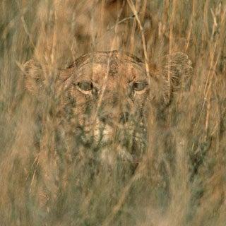 Image result for lion hidden