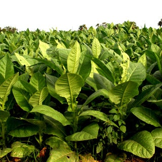Swap smoking tobacco plants for eating leafy green vegetables.
