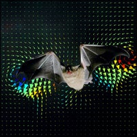 bat wing vortices