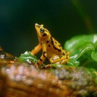 panamanian-golden-frog