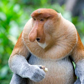 proboscis monkey mangrove forest endangered