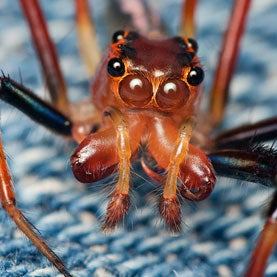 Red Jumping Spider [Salticidae]