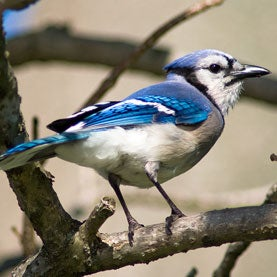 Blue Jay on a Limb (Cyanocitta cristata)