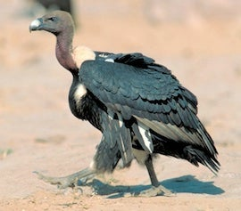White-rumped vulture