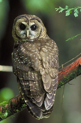 Northern spotted owl, via the U.S. Fish and Wildlife Service