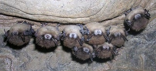 Bats exhibiting signs of white-nose syndrome