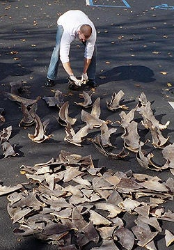 NOAA agent counting confiscated shark fins