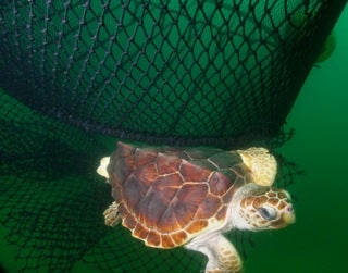loggerhead turtle in net