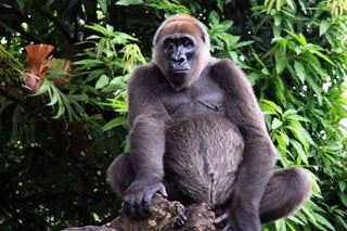 ross river gorilla