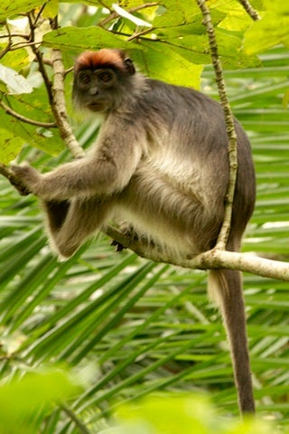 05-17-red_colobus