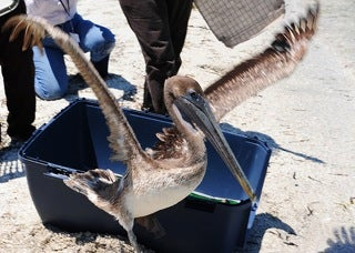 treated brown pelican released back into the wild
