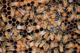Bees in a Kenyan top bar, a type of man-made beehive used for beekeeping in Africa