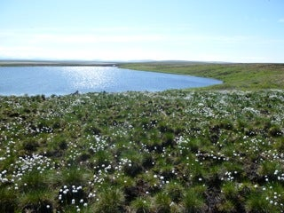 Tussocks blooming by Horn Lake on Alaska's North Slope