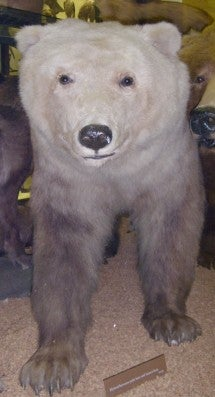 Stuffed polar-brown bear hybrid on display in Natural History Museum at Tring