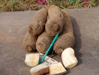 Image result for single yam tuber