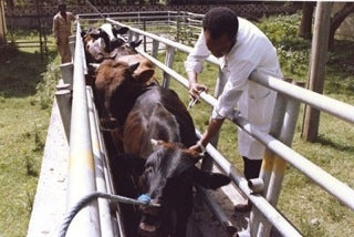 technician vaccinates cattle against rinderpest