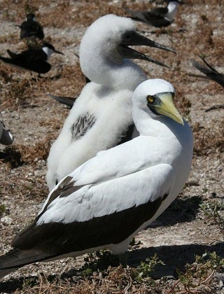 Austropacific Masked Booby