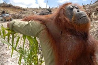 Dead orangutan being carried off of a palm oil plantation