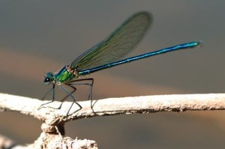 Glittering Demoiselle, an endangered damselfly