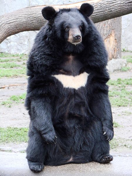 asian black bear, iran, extinction