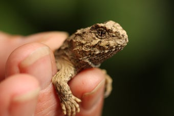 Baby Tuatara A Rare Reptile Found On New Zealand Mainland