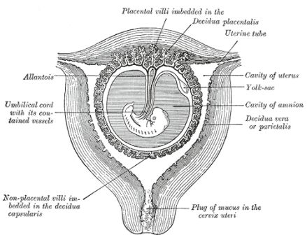 mucus plug early pregnancy