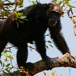 chimpanzees can die of simian aids virus