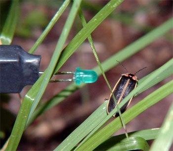 Firefly, bioluminescence, mating, LED