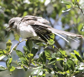 mocking birds recognize humans