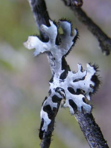 lichen-degrade-prions-mad-cow-chronic-wasting-disease