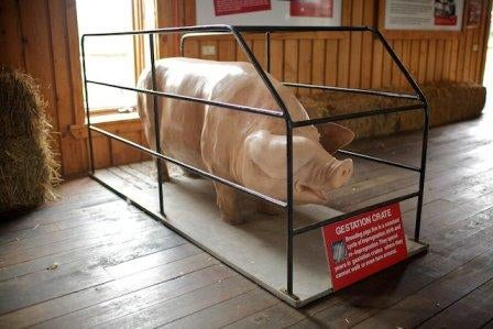 Pig_gestation_crate
