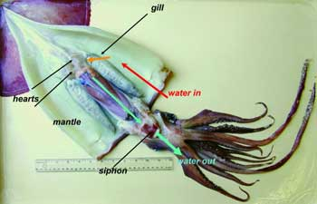 squid studies gilly humboldt jumbo squid anatomy