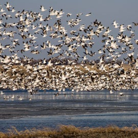 bird migrations can spread infectious diseases