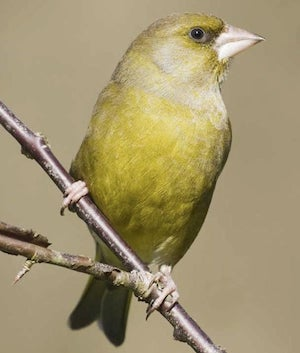 greenfinch from animal personality test of stress and behavior