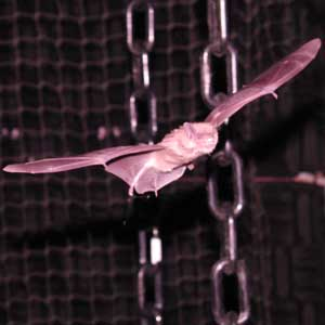 bats change frequency echolocation navigate sun magnetic
