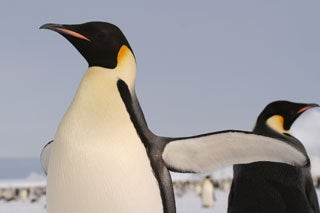 emperor penguin wave