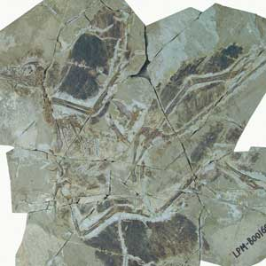 feathered dinosaur four wings fossil