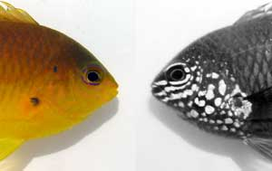 uv fish vision damselfish