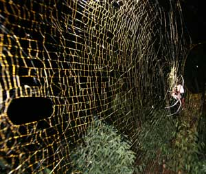 big spider web weaver
