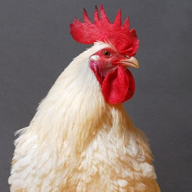 Transgenic chickens get bird flu without passing it on ...