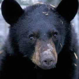 hibernating black bear slows metabolism without lowering body temperature