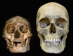 hobbit human primate brain size evolution
