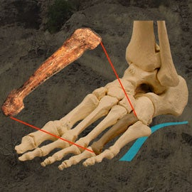 lucy human ancestor foot bone modern walking