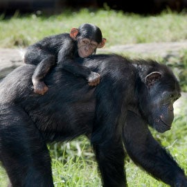 smaller chimpanzee baby riding on mother's back
