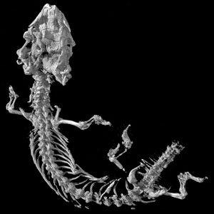 legless lizard fossil ct scan image
